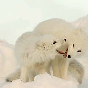 Arctic Fox (Alopex lagopus)Pair along the ice edge of Hudson Bay, Cape Churchill, near Churchill, Manitoba, Canada. November