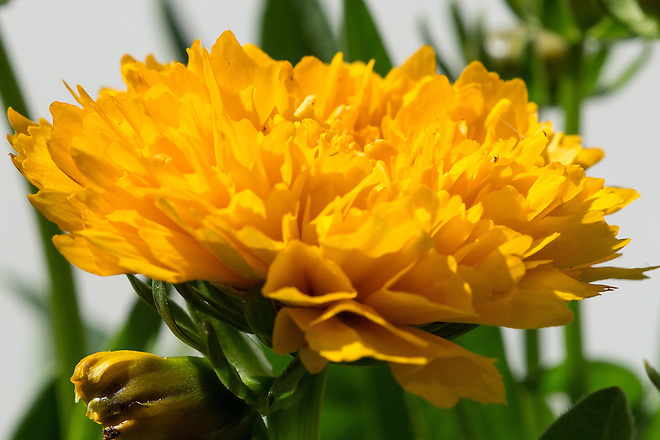 Golden Sphere (Coreopsis) is a flowering perennial that is considered water-wise or drought tolerant and it is available at local nurseries in California. Photo taken May 12, 2016.   Kelly M. Grow / California Department of Water Resources