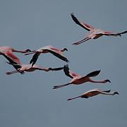 Group of flamingos captured during their flight across lake Nakuru in Kenya.