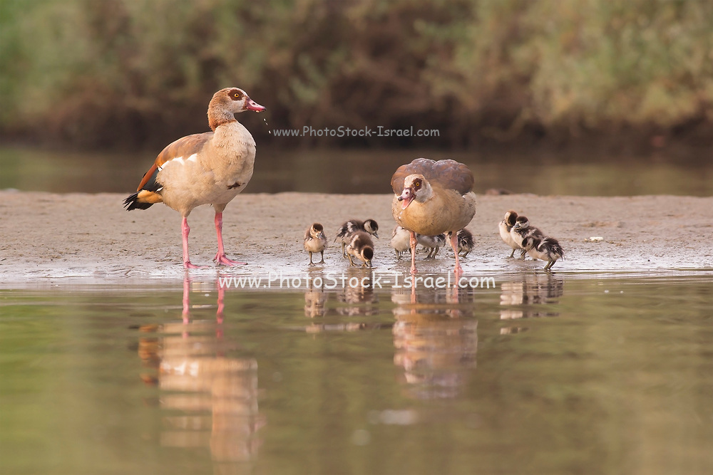 Egyptian Goose (Alopochen aegyptiaca) a member of the duck, goose, and swan family Anatidae. It is native to Africa south of the Sahara and the Nile Valley. Photographed in Israel in April