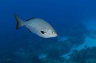 Bermuda sea chub - Calicagère blanche (Kyphosus sectatrix), Cozumel, Yucatan peninsula, Mexico.