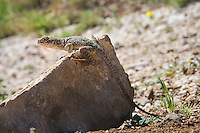 A female eastern collared lizard hunts in the middle of a Texas springtime day in the Guadalupe Mountains for insects, spiders and scorpions on the side of an arroyo.