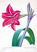 19th-century hand painted Engraving illustration of a Amaryllis brasiliensis (Brazilian Amaryllis) flower, by Pierre-Joseph Redoute. Published in Choix Des Plus Belles Fleurs, Paris (1827). by Redouté, Pierre Joseph, 1759-1840.; Chapuis, Jean Baptiste.; Ernest Panckoucke.; Langois, Dr.; Bessin, R.; Victor, fl. ca. 1820-1850.