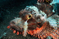 Scorpaenopsis oxycephala, Baertiger Drachenkopf, Tassled scorpionfish, Smallscale scorpionfish, Bali, Indonesien, Indopazifik, Bali, Indonesia Asien, Indo-Pacific Ocean, Asia