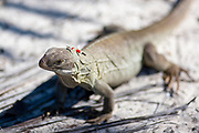 Close up selective focus photo of a Rock Iguana at the Little Water Cay Nature Reserve Providenciales, Turks & Caicos