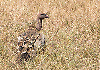 Ruppell's Griffon Vulture, Gyps rueppellii, waits to feed on the remains of a Thomson's Gazelle killed by a Cheetah in Serengeti National Park, Tanzania