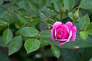 A Pink Miniature Rose flowering in a backyard garden in British Columbia, Canada