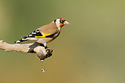 European goldfinch (Carduelis carduelis) perched on a twig. These birds are seed eaters although they eat insects in the summer. Photographed in Israel in November