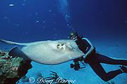 "diver and southern stingray, Hypanus americanus, formerly Dasyatis americana, ""The Runway"", Nassau, Bahamas ( Western Atlantic Ocean )"