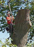 ZD Tree Service and Reliable Crane Service cut down a large oak tree on Opechee Street in Laconia August 26, 2011.