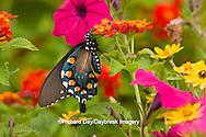 03004-00818 Pipevine Swallowtail (Battus philenor) on Red Spread Lantana (Lantana camara) in butterfly garden, Marion Co.  IL
