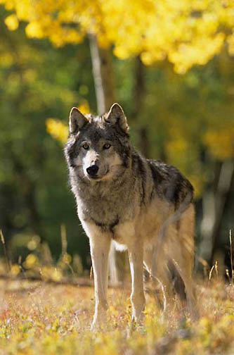 Gray Wolf, (Canis lupus) Portrait of adult in Fall. Montana. Captive Animal.