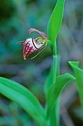 Ram's-Head Lady's-Slipper (Cypripedium arietinum) <br />Gypsumville<br />Manitoba<br />Canada