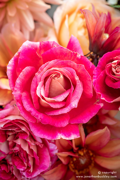 Rose 'Calendar Girl' in mid October