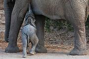 A small desert elephant calf (Loxodonta africana cyclotis) nursing from its mother, Skeleton Coast, Namibia