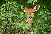 The female Bushbuck peaked through the bushes, her face parially covered by leaves. Her ears were pricked forward to see if there was danger in Nairobi National Park.