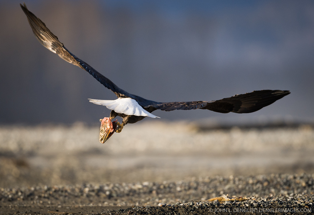 A bald eagle (Haliaeetus leucocephalus) flies away with the head of a salmon carcass over the Chilkat River in the Alaska Chilkat Bald Eagle Preserve near Haines, Alaska. During late fall, bald eagles congregate along the Chilkat River to feed on salmon. This gathering of bald eagles in the Alaska Chilkat Bald Eagle Preserve is believed to be one of the largest gatherings of bald eagles in the world.