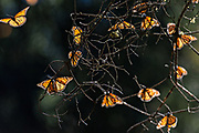 Monarch Butterflies sun on branches at the El Capulin Monarch Butterfly Biosphere Reserve in Macheros, Mexico. Each year millions of Monarch butterflies mass migrate from the U.S. and Canada to the Oyamel fir forests in central Mexico.