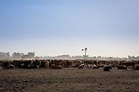 VACAS Y MOLINO EN UN FEED LOT, CARMEN DE ARECO, PROVINCIA DE BUENOS AIRES, ARGENTINA