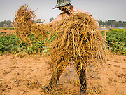 22 APRIL 2014 - CHIANG SAEN, CHIANG RAI, THAILAND: A farmer covers his field in straw along on a flood plain in the Mekong River. The farmer's land floods every year during the rainy season. This year Chiang Rai province in northern Thailand is facing a drought this year. The 2014 drought has been brought on by lower than normal dry season rains. At the same time, closing dams in Yunnan province of China has caused the level of the Mekong River to drop suddenly exposing rocks and sandbars in the normally navigable Mekong River. Changes in the Mekong's levels means commercial shipping can't progress past Chiang Saen. Dozens of ships are tied up in the port area along the city's waterfront.           PHOTO BY JACK KURTZ