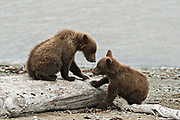 Brown bear spring cubs play on the beach along the Cook Inlet at the McNeil River State Game Sanctuary on the Kenai Peninsula, Alaska. The remote site is accessed only with a special permit and is the world's largest seasonal population of grizzly bears in their natural environment.