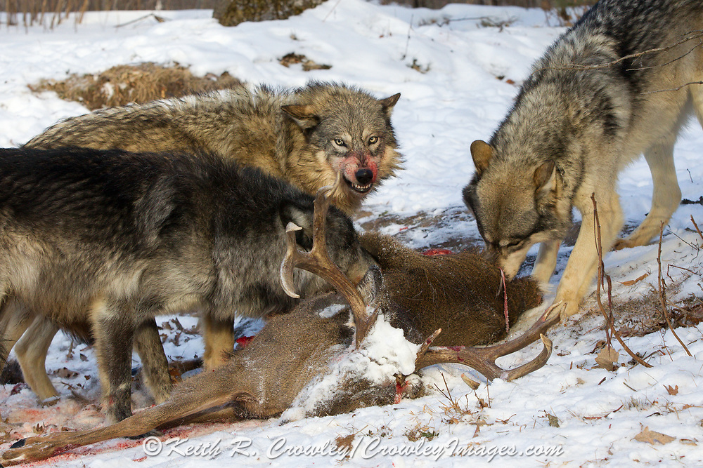 A gray wolf snarls at its pack mate over a deer carcass in winter habitat. Captive pack.