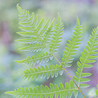 A perfect fern caught my eye on my  hike along the Wonderland Trail in Acadia National Park.