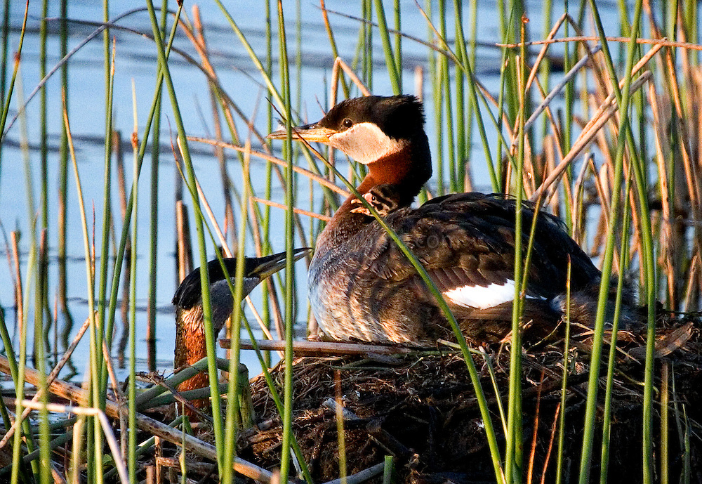 Rednecked grebe  hen sitting on a nest in Potter's Marsh, outside Anchorage, Alaska, with a chick peeping out from her feathers, and her mate bringing her food.