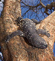 Guatamelan Beaded Lizard (Heloderma horridum charlesbogerti)