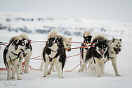 Inuits dogs