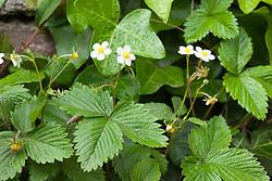 Wild Strawberry. Fragaria vesca