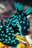 Two crested nembrotha (Nembrotha cristata) nudibranchs doing their bit for survival of the species. Komodo, Inonesia