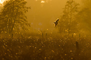 Short-eared owl in flight. Surrey, UK.