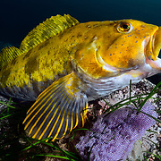 This is a male fat greenling (Hexagrammos otakii) watching over developing eggs. The most prominent in this image are purple, though there were other eggs of varying color, each spawned by a different female. These fish exhibit a range of personalities. This male was highly attentive to his eggs, which were in excellent condition as a result.