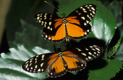 Heliconius hecalesia Butterfly, male flying above female about to mate, mating