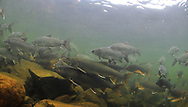 Lake Trout (with Lake Whitefish)<br /> <br /> Paul Vecsei/Engbretson Underwater Photography