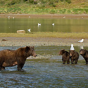 Alaskan Brown Bear (Ursus middendorffi) Mother with three young cubs fishing for salmon. Katmai National Park. Alaska.