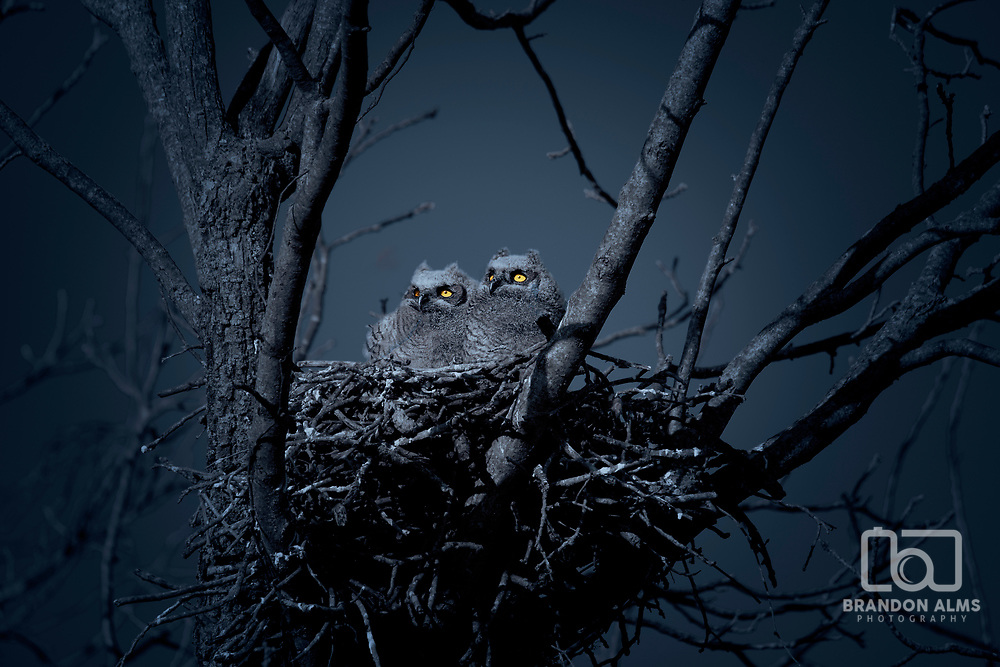 Two baby great horned owls in a nest at night. Photo by Brandon Alms Photography.