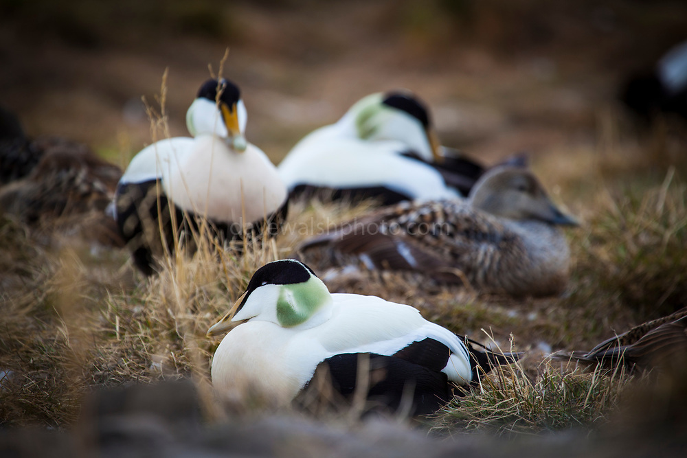 Common Eider Duck, Somateria mollissima near Longyearbyen, on the Arctic island of Spitsbergen, Svalbard. The eider nest between two enclosures of sled dogs on the outskirts of Longyearbyen, where the eggs are safe from the arctic fox, which is too scared to come close to the howling dogs.
