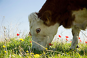 Israel, Ramot Menashe, free grazing cattle in the spring fields February 2007