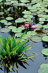 Hottonia palustris (Water violets), Orontium aquaticum and water lily.
