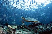 hawksbill sea turtle, Eretmochelys imbricata, Critically Endangered Species, swims through a school of bigeye jacks, Caranx sexfasciatus, Sipadan, Malaysia ( Celebes Sea / Western Pacific Ocean )
