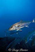 amberjack, Seriola dumerili, wreck of the California, off of Key West, Florida ( Gulf of Mexico )