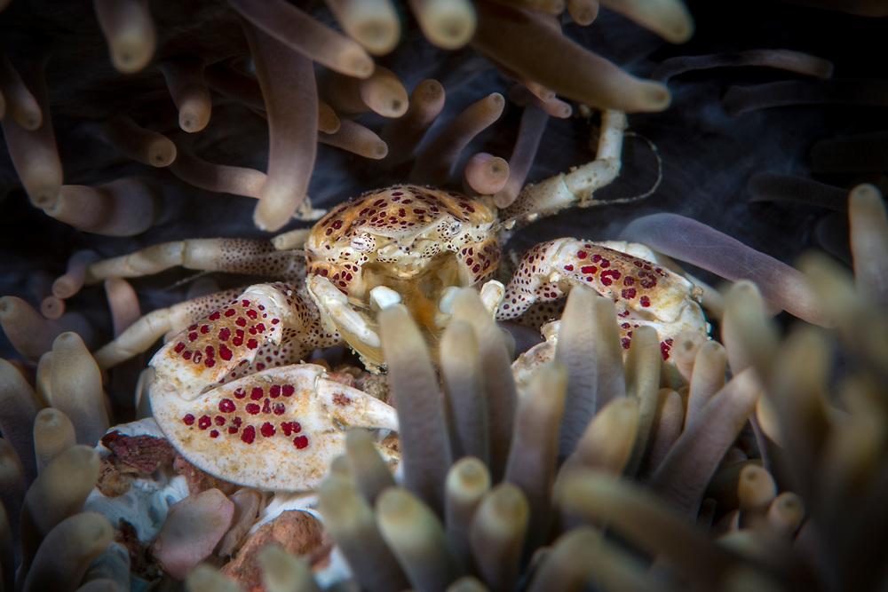 Porcelain anemone crab, Neopetrolistes maculatus, Kenting National Park located on the Hengchun Peninsula of Pingtung County, Taiwan