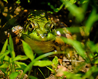 Kermit the Bullfrog in the Backyard Pond. Image taken with a Fuji X-T2 camera and 100-400 mm OIS lens