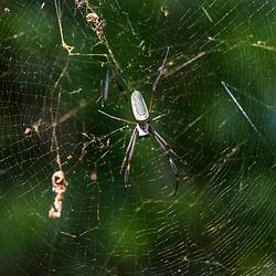 """""""Aranha-de-teia-amarela (Nephila clavipes) fotografado em Linhares, Espírito Santo -  Sudeste do Brasil. Bioma Mata Atlântica. Registro feito em 2015.<br /> <br /> <br /> <br /> ENGLISH: Golden orb-web spider photographed in Linhares, Espírito Santo - Southeast of Brazil. Atlantic Forest Biome. Picture made in 2015."""""""