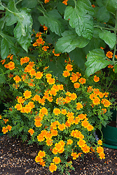 Companion planting of tomatoes with Tagetes tenuifolia 'Tangering Gem'. Marigolds