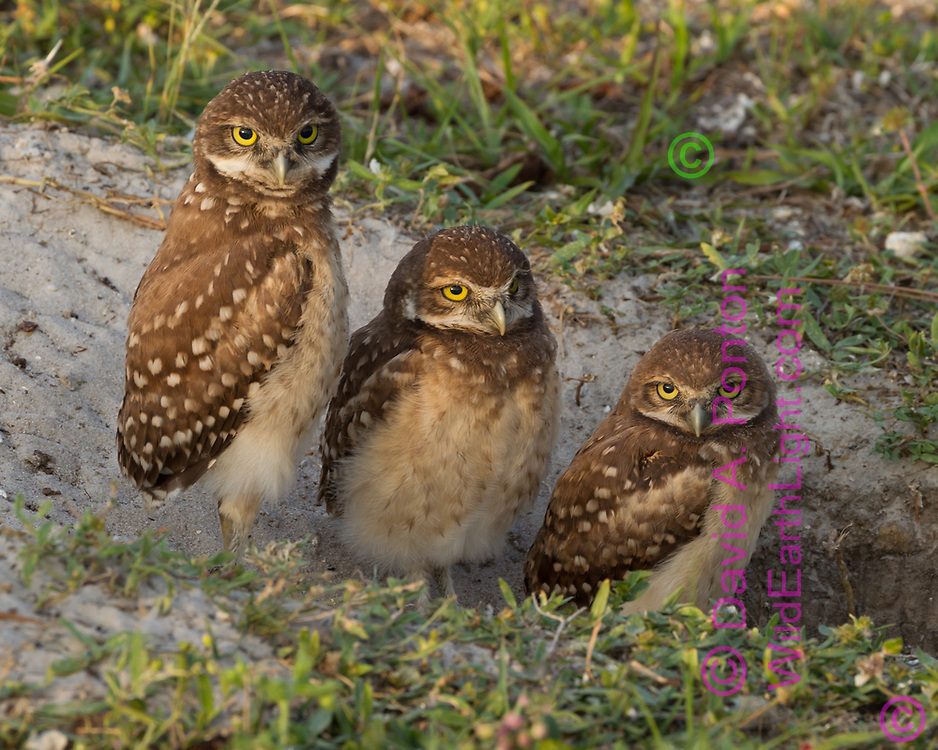 Juvenile burrowing owls lined up at the entrance to their burrow ,© David A. Ponton
