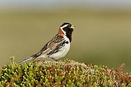 Lapland Bunting - Calcarius lapponicus