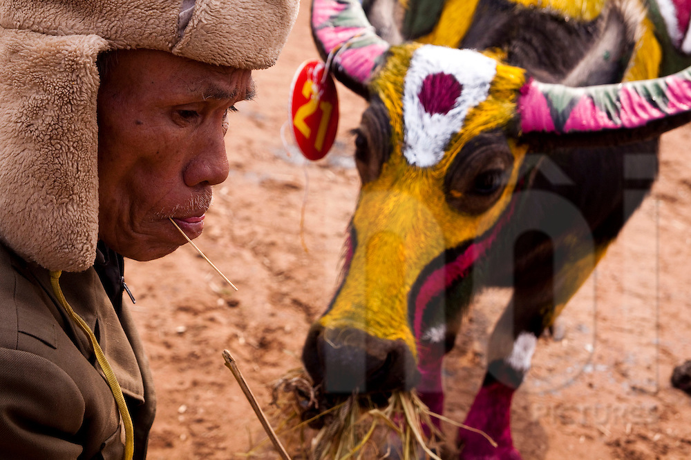 A farmer sits with his painted buffalo at the Buffalo Painting Festival near Phu Ly, Ha Nam Province, Vietnam, Southeast Asia